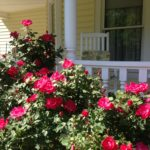 Roses near front porch